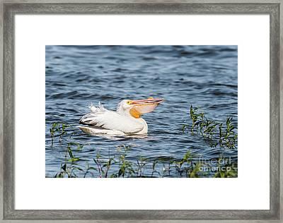 American White Pelican Male Framed Print by Robert Frederick