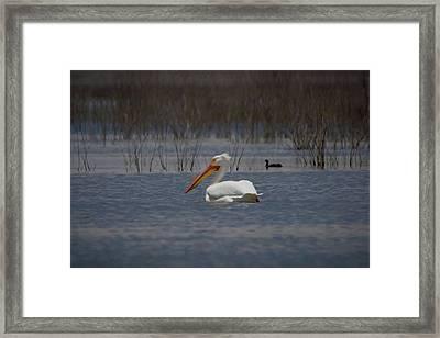 American White Pelican Searching Da Framed Print by Ernie Echols