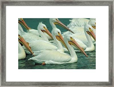 American White Pelicans Framed Print by Bruce Morrison