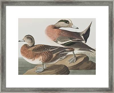 American Widgeon Framed Print