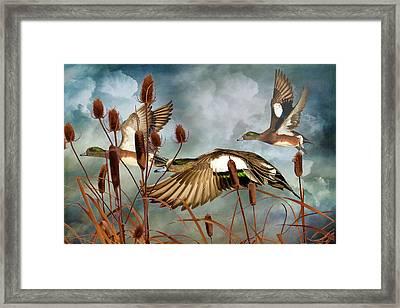 American Widgeons Coming In Framed Print