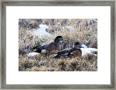 American Wigeon Mated Pair Framed Print
