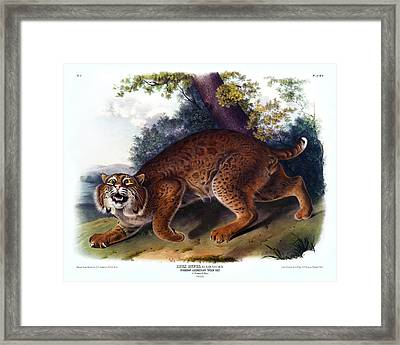American Wild Cat Antique Print Audubon Quadrupeds Of North America Plate 1 Framed Print by Orchard Arts