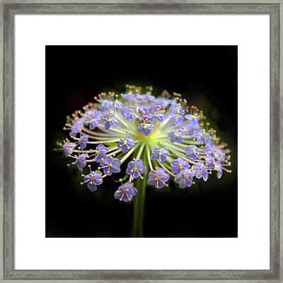 Amethyst Allium Framed Print