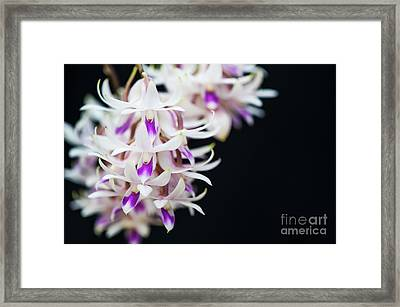 Amethyst Colored Dendrobium Framed Print by Tim Gainey