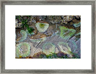 Amicable Anemones Framed Print by Adria Trail