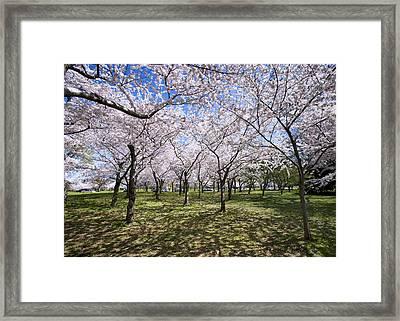 Amid Cherry Trees Washington D.c. Cherry Blossom Festival Framed Print by Brendan Reals