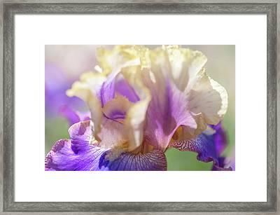 Amigos Guitar 2. The Beauty Of Irises Framed Print