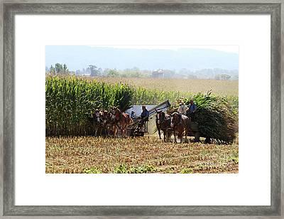 Amish Men Harvesting Corn Framed Print