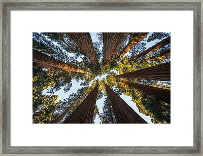 Amongst The Giant Sequoias Framed Print