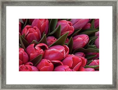 Amsterdam Red Tulips Framed Print by Jill Smith