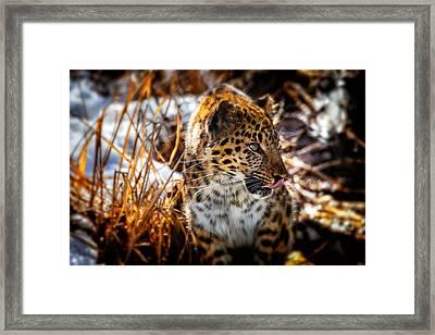 Amur Leopard Beauty Framed Print
