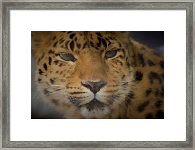 Amur Leopard Dp Framed Print