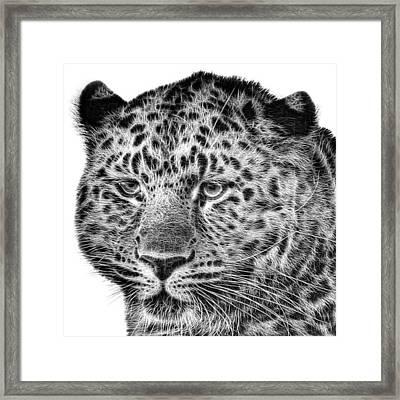 Amur Leopard Framed Print by John Edwards
