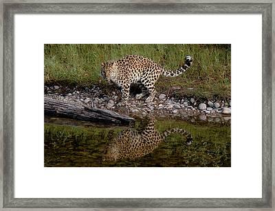Amur Leopard Reflection Framed Print