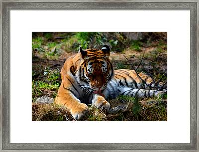 Amur Tiger 2 Framed Print