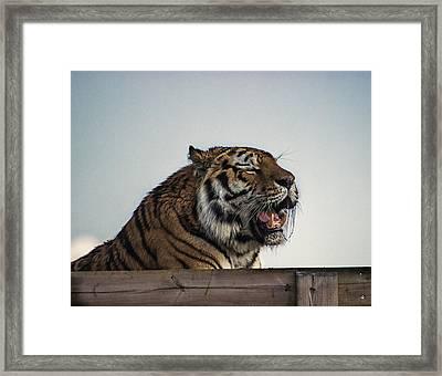 Amur Tiger Framed Print by Martin Newman
