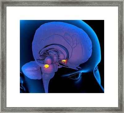Amygdala In The Brain, Artwork Framed Print