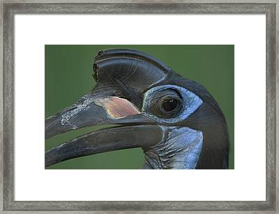 An Abyssinian Ground Hornbill Framed Print by Joel Sartore