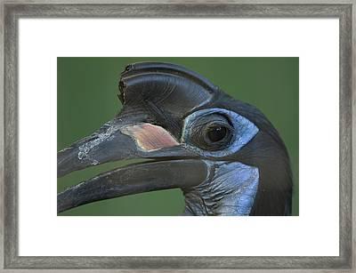 An Abyssinian Ground Hornbill Framed Print