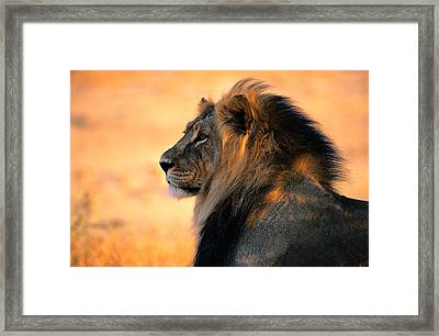 An Adult Male African Lion, Panthera Framed Print