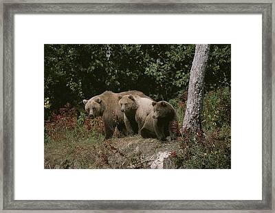 An Alaskan Brown Bear And Her Cubs Framed Print