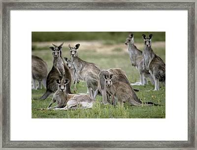 An Alert Mob Of Eastern Grey Kangaroos Framed Print by Jason Edwards
