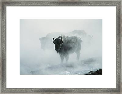 An American Bison Bull Bison Bison Framed Print by Michael S. Quinton