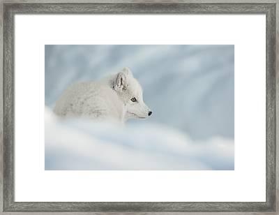 An Arctic Fox In Snow. Framed Print