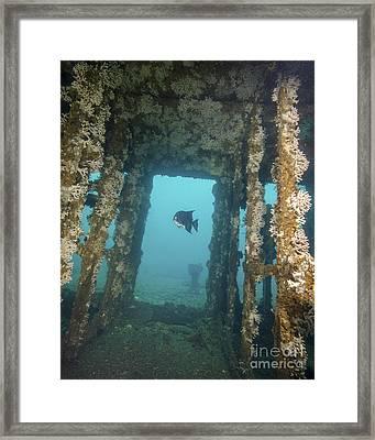 An Atlantic Spadefish Swims Amongst Framed Print by Brent Barnes