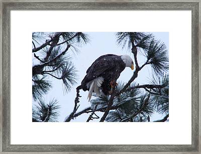 An Eagle In The Pine Framed Print by Jeff Swan