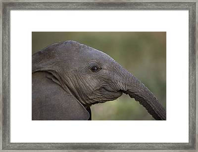 An Eight-month-old Elephant Calf Framed Print by Michael Nichols