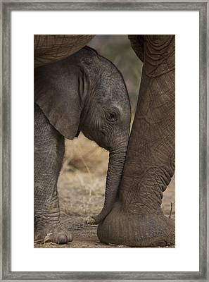 An Elephant Calf Finds Shelter Amid Framed Print