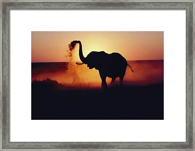 An Elephant Loxodonta Africana Tosses Framed Print