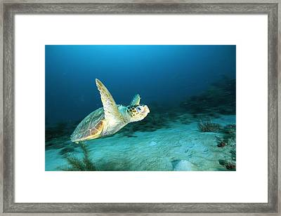 An Endangered Loggerhead Turtle Framed Print by Brian J. Skerry