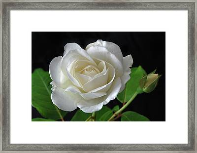 An English Rose Framed Print