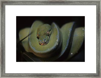 An Immature Green Tree Python Curled Framed Print by Taylor S. Kennedy
