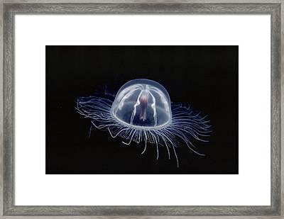 An Inch Long Transparent Jellyfish Framed Print