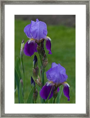 An Iris Picture Framed Print