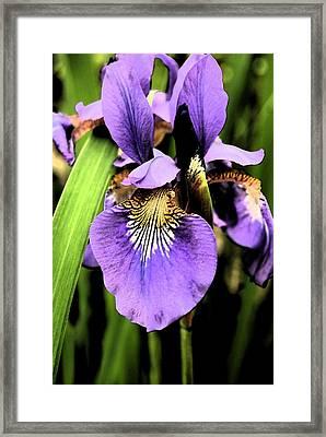 An Iris Portrait - Botanical Framed Print