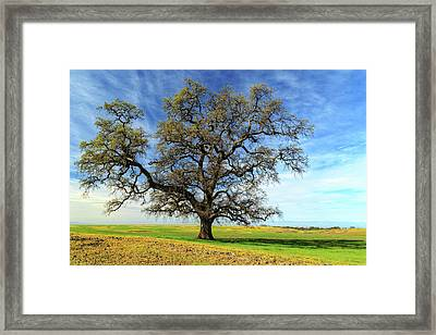 Framed Print featuring the photograph An Oak In Spring by James Eddy
