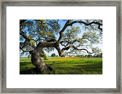 An Oak Tree Of Independence - Texas Framed Print