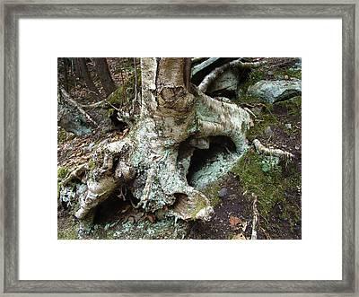 An Old Birch Wetnursing New Life Framed Print by Terrance DePietro
