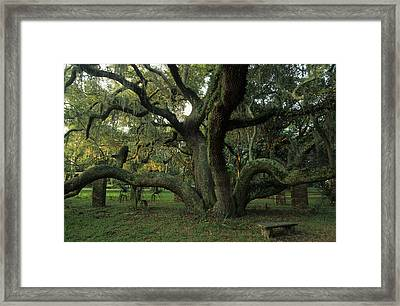 An Old Live Oak Draped With Spanish Framed Print by Michael Melford