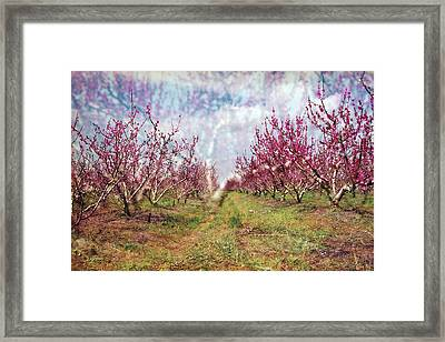 An Orchard In Blossom In The Golan Heights Framed Print