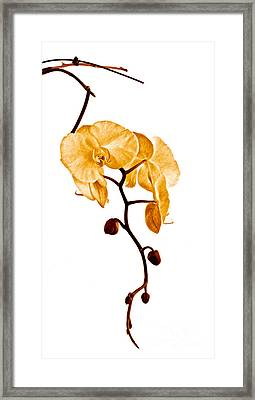 An Orchid's Perfume Framed Print by Gwyn Newcombe