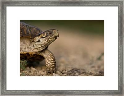 An Ornate Box Turtle On A Hog Farm Framed Print by Joel Sartore