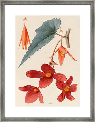 Analytical Drawing Of A Begonia Framed Print by Alfred Riocreux