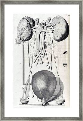 Anatomia Humani Corporis, Table 42, 1690 Framed Print by Science Source