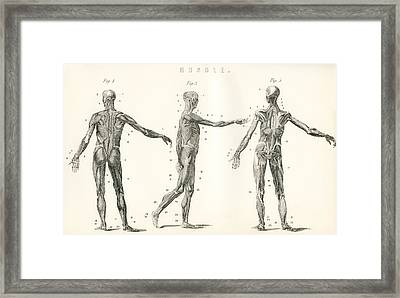 Anatomical Study Of Muscle In The Human Framed Print by Vintage Design Pics